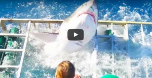 Un Grand Requin Blanc traverse une cage…