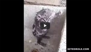Le rat qui prend sa douche (Rat taking a shower)